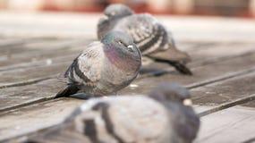 恼怒的鸽子和朋友 免版税图库摄影