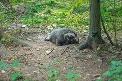 恼怒的黑浣熊坐在木头 免版税图库摄影