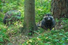 恼怒的黑浣熊坐在木头 库存图片