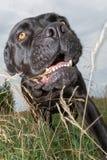 恼怒的黑藤茎corso狗在草甸 免版税图库摄影