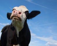 恼怒的黑母牛 免版税库存照片