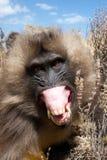 恼怒的Gelada狒狒 免版税库存照片