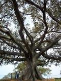 悉尼树 免版税库存照片