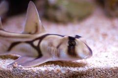 悉尼港鲨鱼 库存照片