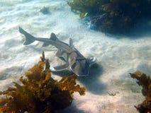 悉尼港鲨鱼 免版税库存照片