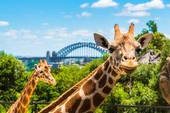 悉尼,澳大利亚- 2014年1月11日:在Taronga动物园的长颈鹿在有港口桥梁的悉尼在背景中 图库摄影