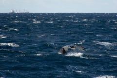 悉尼, NSW/Australia :观看在澳大利亚海洋的鲸鱼 库存照片
