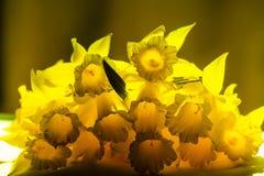 您和您的家庭的黄色水仙 图库摄影