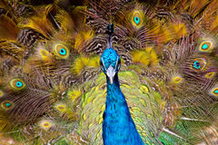 您基本的美丽的孔雀 免版税库存图片