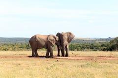 您我的伙伴-非洲人布什大象 免版税库存照片