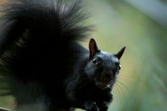 您是否有我的有些坚果?我` m一只饥饿的灰鼠 免版税库存图片