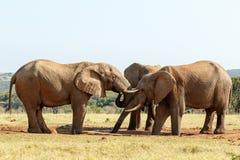 您有足够-非洲人布什大象 免版税库存图片