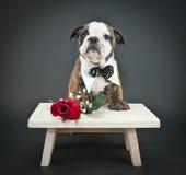 您的一朵玫瑰 免版税图库摄影