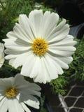 您的庭院的白色波斯菊 库存图片