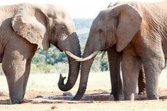 您能有水的非洲人布什大象 库存图片