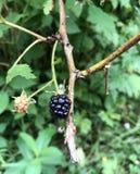 悬钩子属植物类或狂放的黑莓布什 免版税库存照片