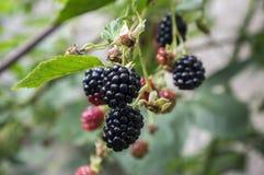 悬钩子属植物fruticosus大和鲜美庭院黑莓,染黑在分支的成熟的果子莓果 库存图片