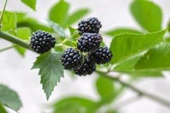 悬钩子属植物fruticosus大和鲜美庭院黑莓,染黑在分支的成熟的果子莓果 免版税图库摄影