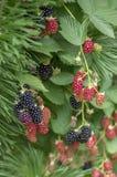 悬钩子属植物fruticosus大和鲜美庭院黑莓,黑成熟的和红色成熟的果子莓果在分支 库存图片