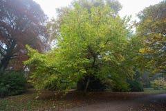 悬铃木树在早期的秋天 库存图片