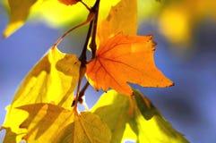 悬铃树和果子金黄秋叶在树分支在金黄小时 秋天背景美好的例证向量 免版税库存图片