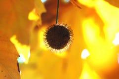 悬铃树和果子金黄秋叶在树分支在金黄小时 秋天背景美好的例证向量 库存照片