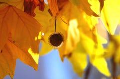 悬铃树和果子金黄秋叶在树分支在金黄小时 秋天背景美好的例证向量 图库摄影