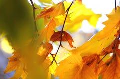 悬铃树和果子金黄秋叶在树分支在金黄小时 秋天背景美好的例证向量 免版税图库摄影