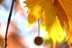 悬铃树和果子金黄秋叶在树分支在金黄小时 秋天背景美好的例证向量 库存图片