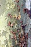 悬铃树纹理 库存照片