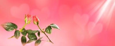 情人节横幅,桃红色玫瑰心脏背景 图库摄影