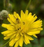 情形轴承在菊科花的叶子甲虫 库存图片