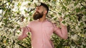 在开花的樱桃树附近的有胡子的人 行家嗅樱花 春天心情概念 行家享用气味  股票录像