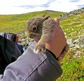 惊人地lovly通配逗人喜爱的野兔 库存照片