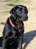 惊人拉布拉多猎犬 库存照片