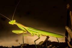 惊人捕食的螳螂调查照相机 免版税图库摄影