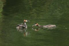 惊人的伟大的有顶饰格里布Podiceps cristatus游泳家庭在河 其中一只父母鸟喂养一条鱼对Th 库存照片