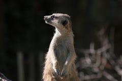 惊人的动物Meerkat画象 免版税图库摄影