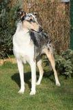 惊人的大牧羊犬光滑在庭院里 免版税库存照片