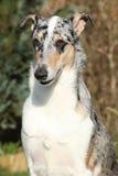 惊人的大牧羊犬光滑在庭院里 库存照片