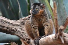 惊人的小的布朗抓住衣领口的狐猴关闭  库存照片