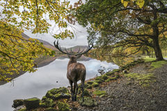 惊人的强有力的马鹿雄鹿横跨湖看往mo 库存照片