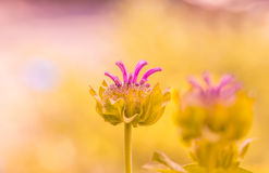 惊人的抽象花桃红色 与精美淡色的一朵美丽的花 有选择性的软的焦点 免版税库存照片