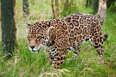 惊人的捷豹汽车Panthera四处觅食的Onca 免版税库存照片