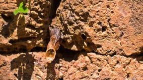 惊人的无刺的蜂蜜蜂, Meliponines巢无刺的蜂或者叫的无刺蜂蜜蜂或完全meliponines嗡嗡叫和fl 库存照片