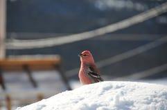 惊人的杉木蜡嘴鸟坐雪 库存图片