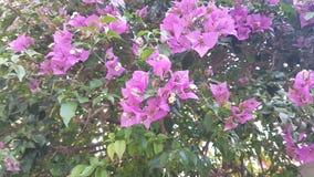 惊人的桃红色花 库存照片