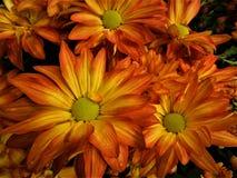 惊人的橙色雏菊 免版税库存图片