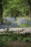 惊人的浅景深会开蓝色钟形花的草森林风景图象 免版税图库摄影