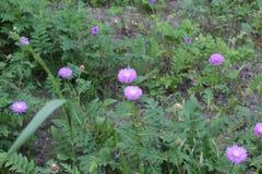 惊人的淡紫色花在领域开了花 他们有淡紫色瓣和绿色叶子 免版税库存照片